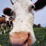 Photo of a milk cow's face.